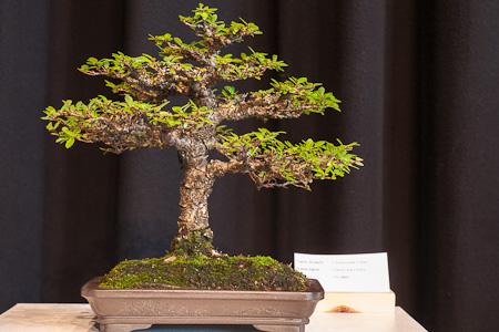 Ulmus parvifolia als Shohin-Bonsai