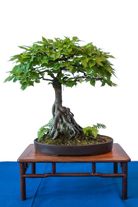 Ulmus carpinifolia als Bonsai
