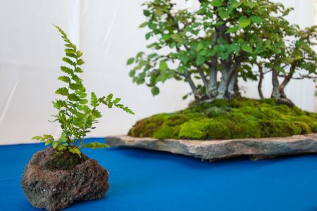 Akzentpflanze Farn