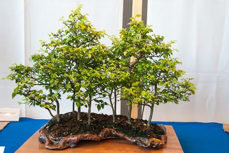 Ulmus hollandica als Bonsai