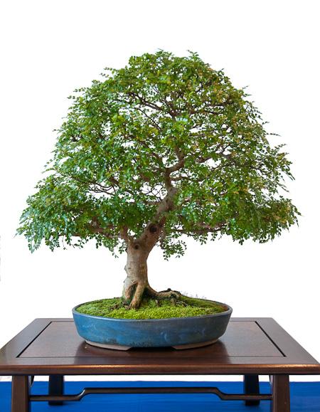 Zanthoxylum piperitum als Bonsai