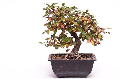 """Chinesische Ulme (Ulmus parvifolia """"Thaiwan"""") umtopfen"""