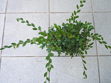 Stecklinge aus einer Ulme (Ulmus parvifolia) ziehen