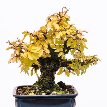 Ulmus japonica