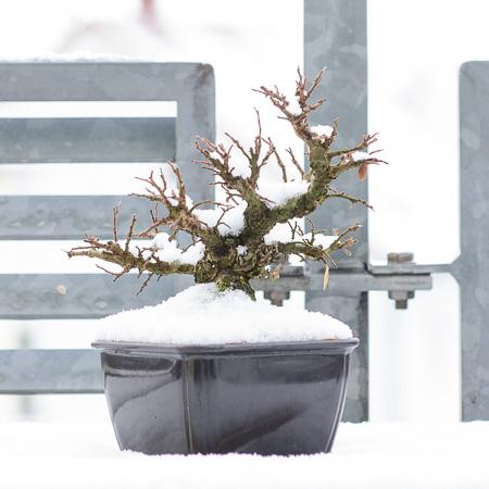 Japanische Ulme im Schnee