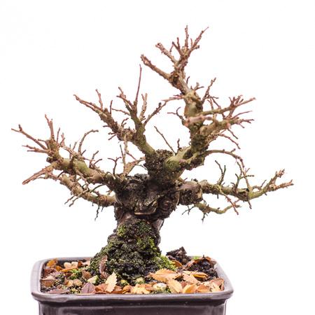 Ulmus japonica Ende 2012