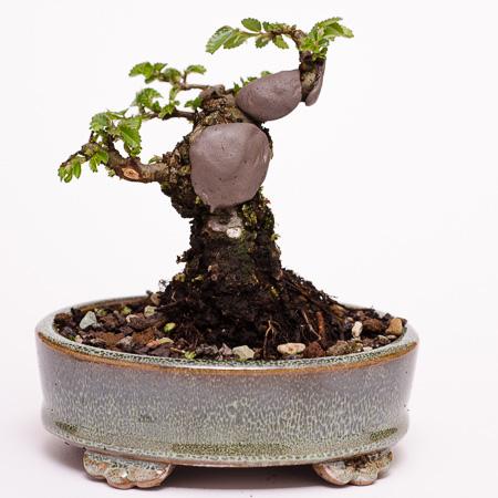 Japanische Ulme als Bonsai 2013