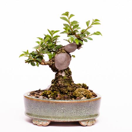 Neuaustrieb Ulmus japonica