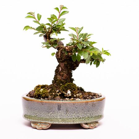 Neuaustrieb Ulmus japonica Rückseite