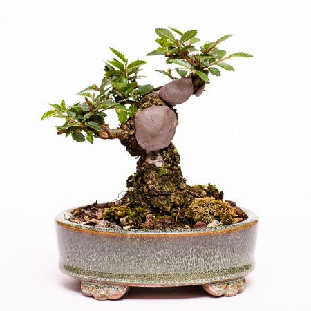 Ulmus japonica nach dem ersten Formschnitt