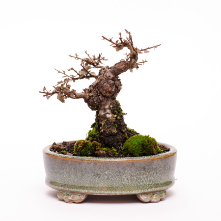 Hitzeschaden am Bonsai