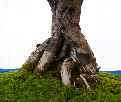 Nebari Ulmus parvifolia