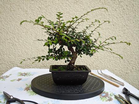 ulmus parvifolia thaiwan im sommer. Black Bedroom Furniture Sets. Home Design Ideas