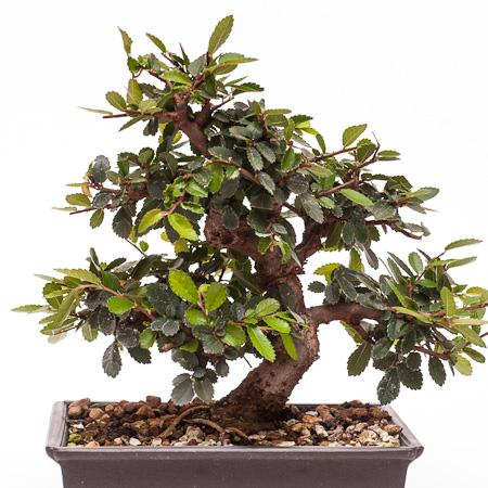 Ulmus parvifolia Taiwan