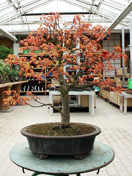 Acer palmatum Katsura vor dem Umtopfen