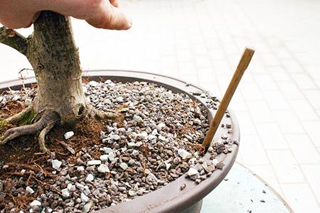 Bonsai und Eßstäbchen
