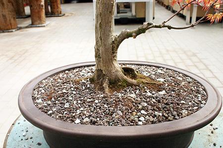 Bonsai umtopfen vor der Vollendung
