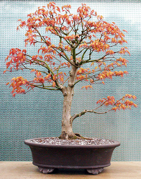 Umgetopfter Ahorn-Bonsai