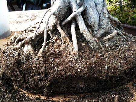 Wurzelballen Ficus