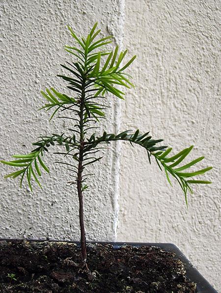 unbekannter Nadelbaum #1