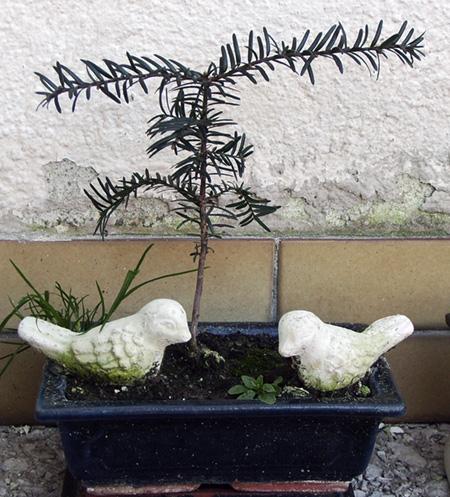 unbekannter Nadelbaum #2