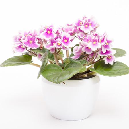 Usambaraveilchen mit lila-weissen Blüten
