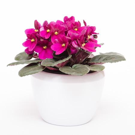 Usambaraveilchen mit lila Blüten