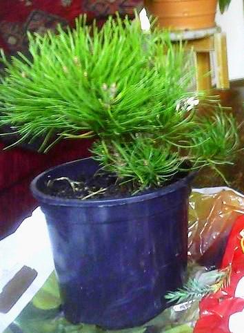 Pinus mugo pumilo
