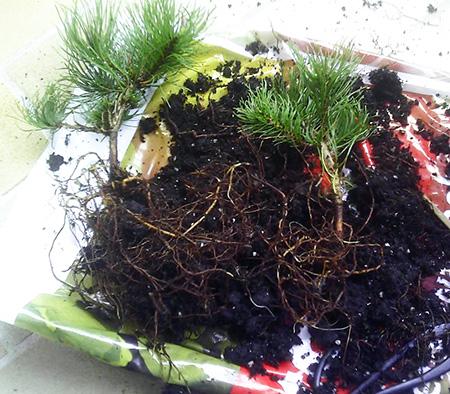 Zwei Pinus mugo pumilo