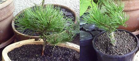 Pinus mugo pumilo von Aldi