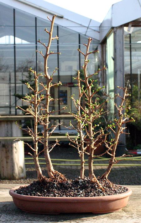Japanische Lärchen Waldgestaltung