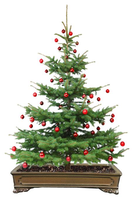 Weihnachtsbaum als Bonsai