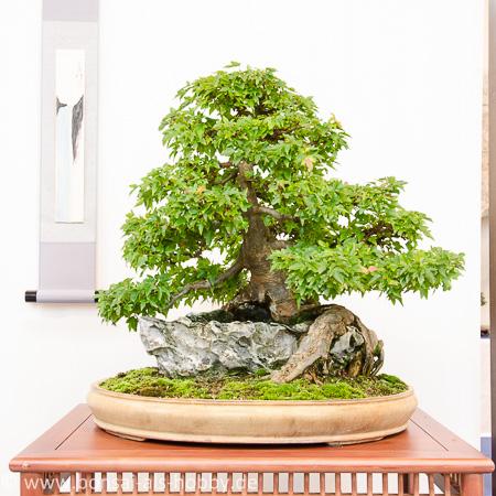 Acer buergerianum über Stein als Bonsai