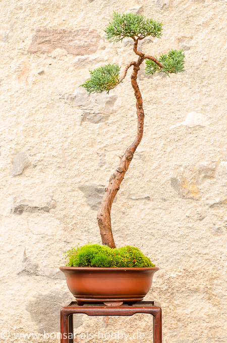 Juniperus chinensis als Bonsai