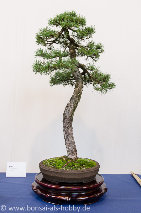 Pinus sylvestris als Bonsai