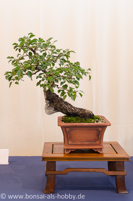 Prunus mahaleb Bonsai