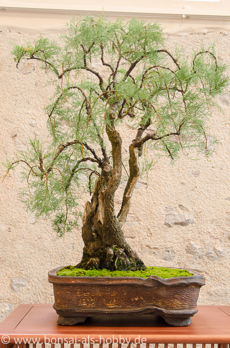Tamarix chinensis als Bonsai
