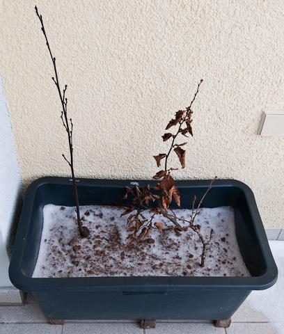 verschneite Bonsai