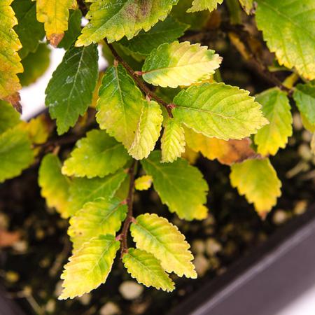 Herbsfärbung Zelkove nire