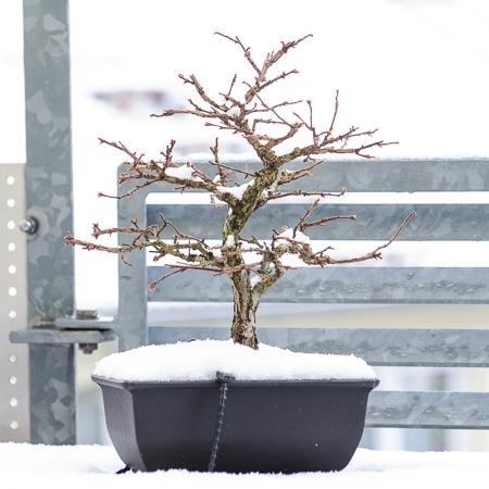 Korkrindenulme im Schnee