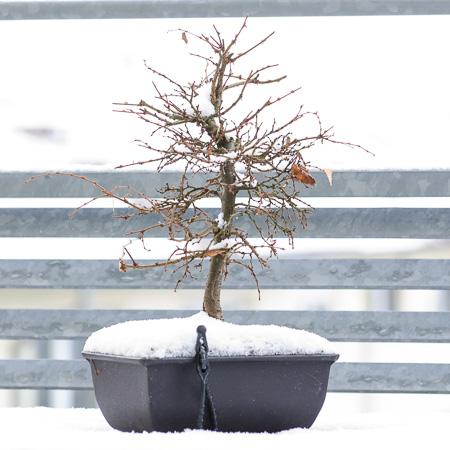 Zelkove im Schnee