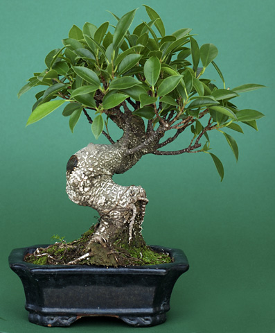 Bonsai Ficus retusus