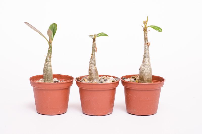 Adenium Jungpflanzen im April 2013