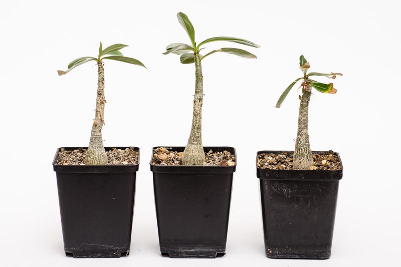 Adenium Jungpflanzen im Oktober 2013