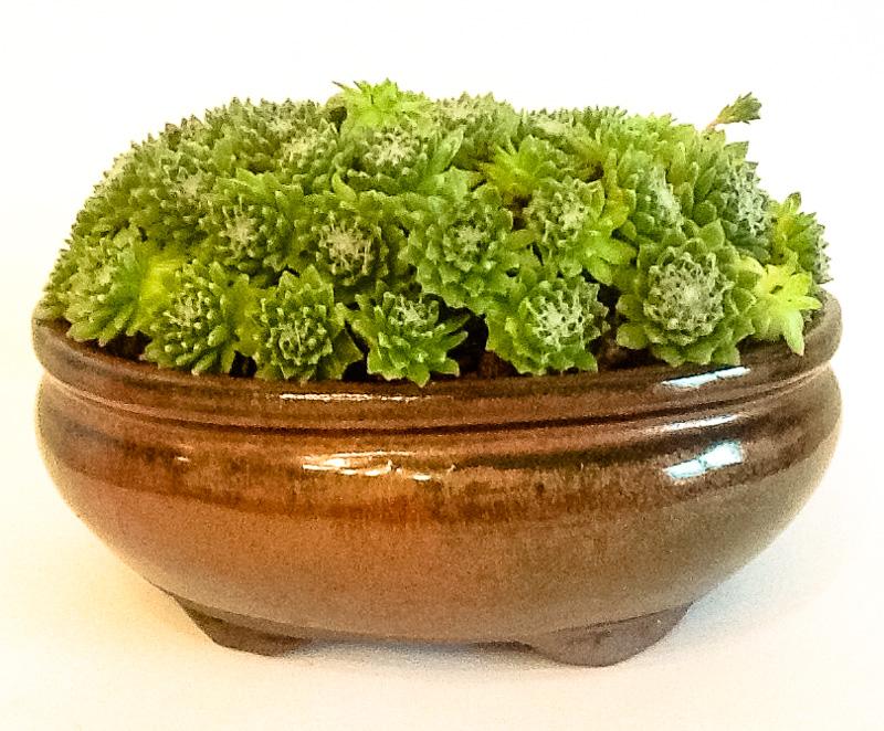 Grüner Hauswurz als Akzentpflanze