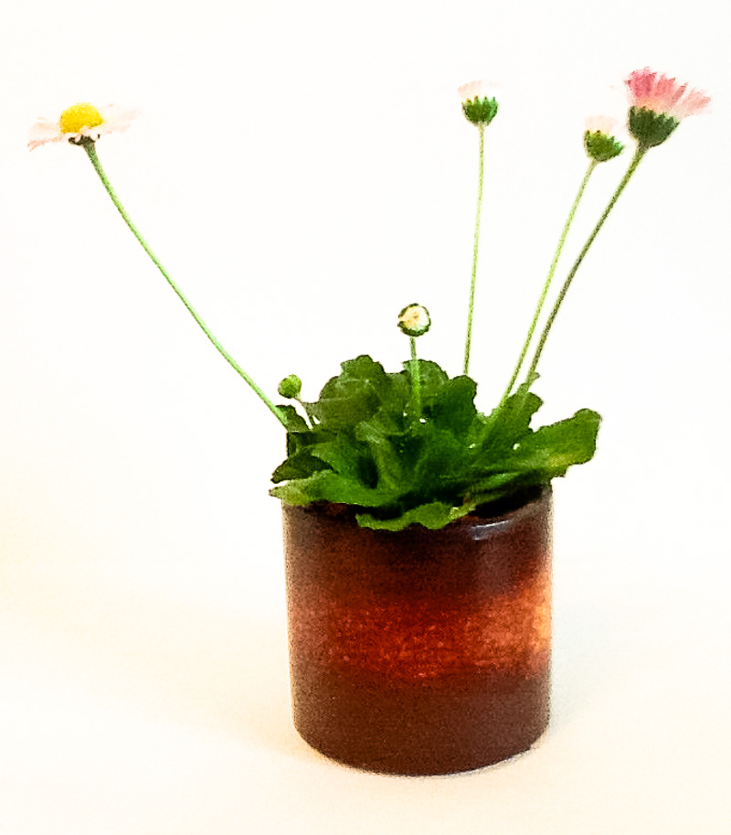 Gänseblümchen als Akzentpflanze