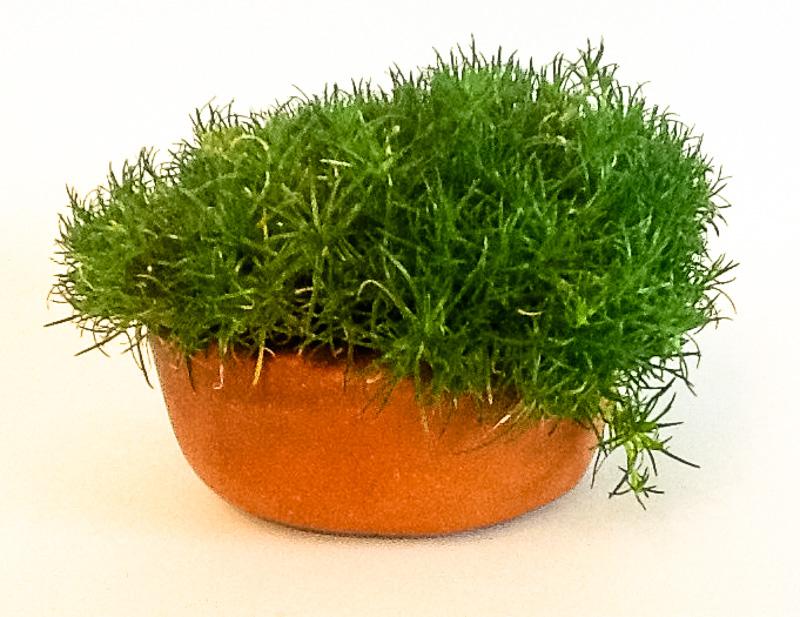 Sagina-Moos in einer Schale als Akzentpflanze