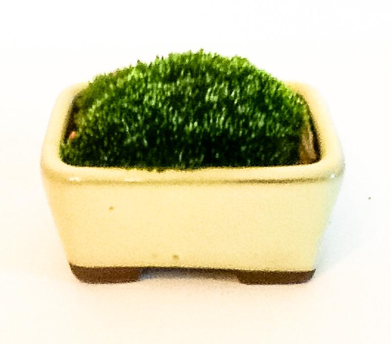 Grünes Moos in einer beigen Schale als Akzentpflanze