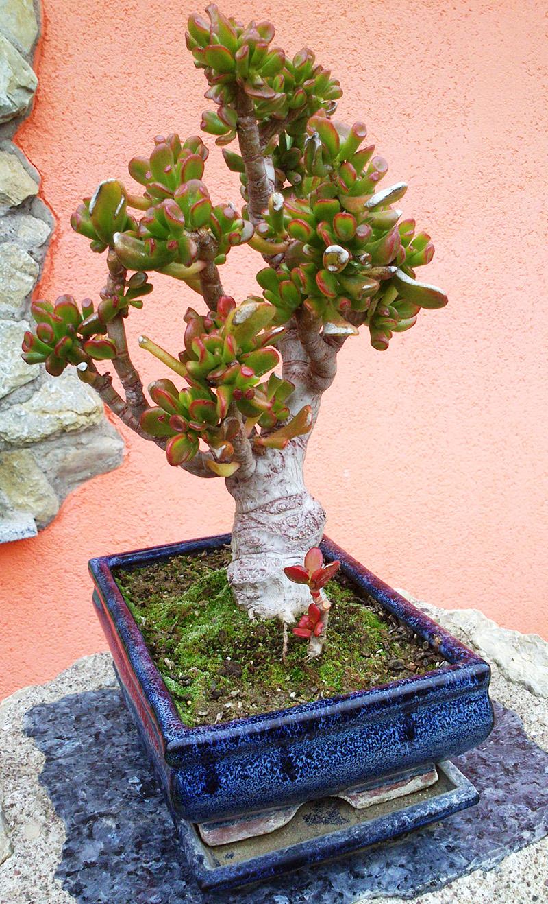 Crassula ovata cv. gollum von Daniel