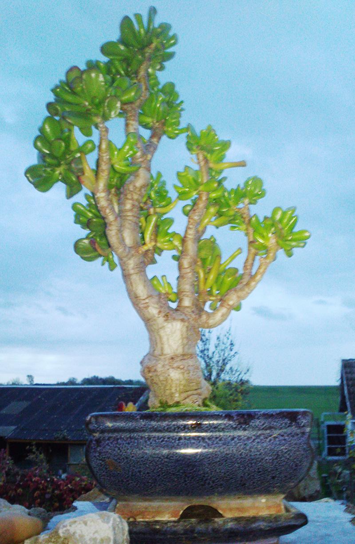 Crassula ovata cv. gollum in einer Bonsaischale